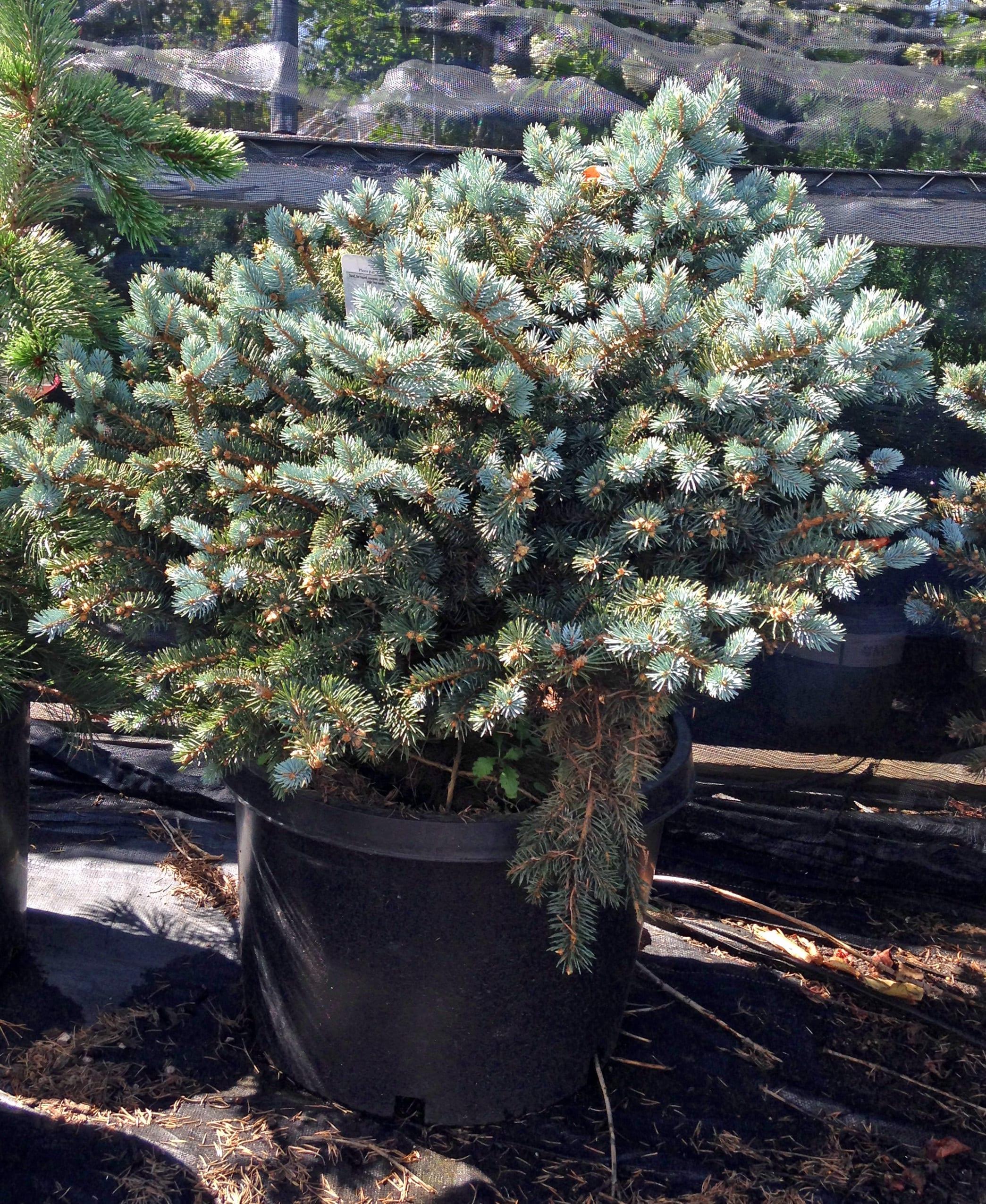 24-30in Blue Globe Spruce