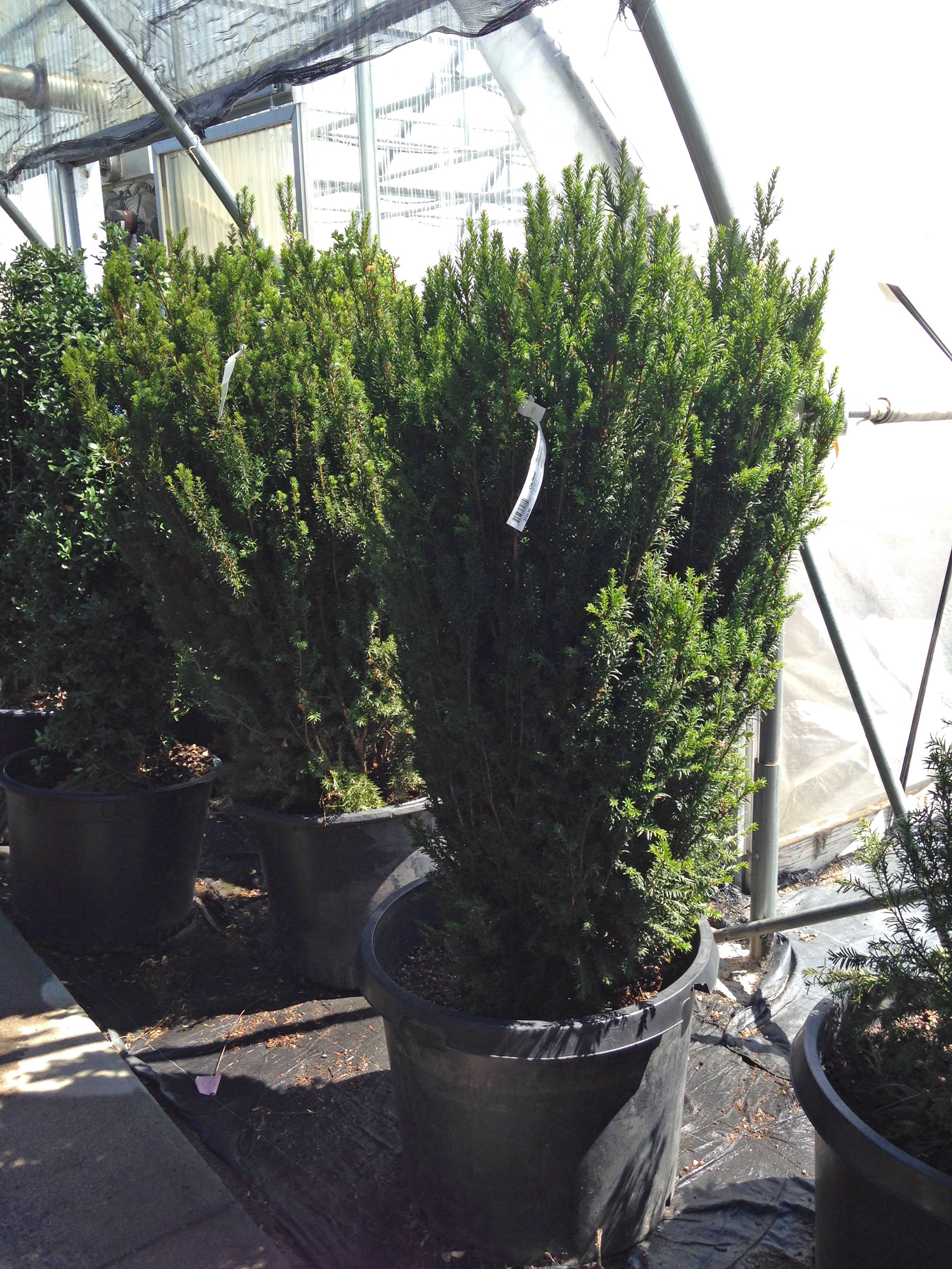 3-4ft Erect English Yew