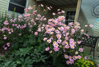 Anemone x hybrida 'Serenade', 2015