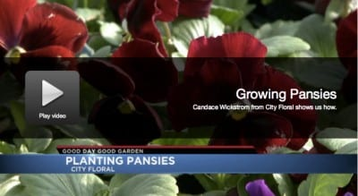 Good Day Good Garden - Growing Pansies