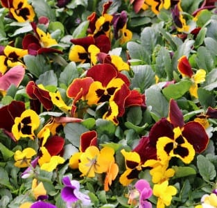 Pansies red and yellow