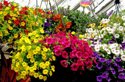 flowering hanging baskets