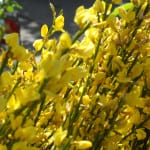 broom, spring flowering shrub