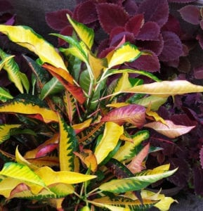 croton red coleus