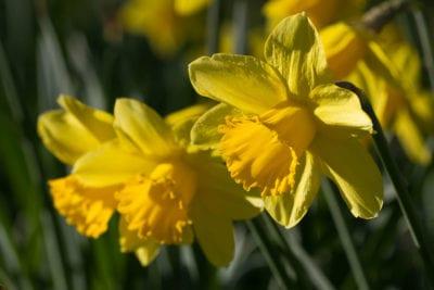 daffodils-joanne-goldby-flickrccby2-0