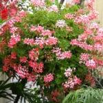 geranium ivy basket