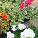 geraniums zonal and pot