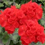 geraniums_042612newsletter