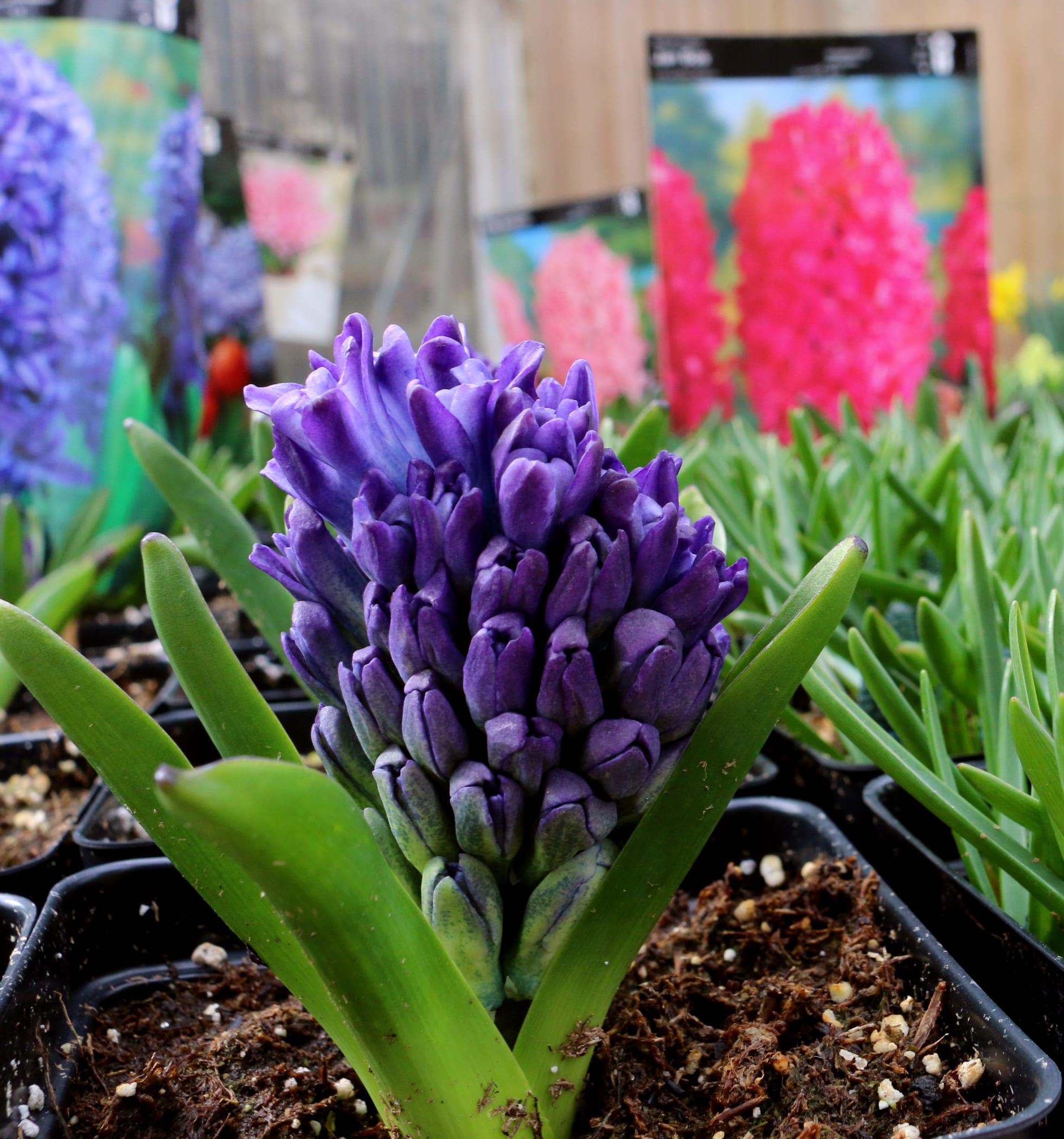 hyacinth blue