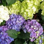 hydrangea blooming blue green white