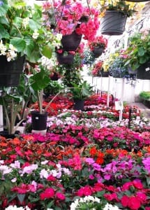 impatiens begonias baskets