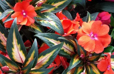 impatiens painted paradise orange improved hybrid