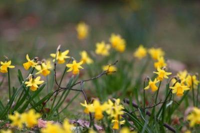 miniature-daffodils-adrian-scottow-flickrccbysa2-0