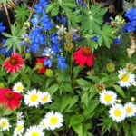 perennials red white blue