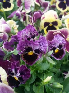 purple-frizzle-pansies
