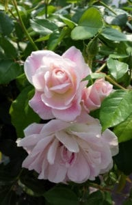 rose-tree-pale-pink