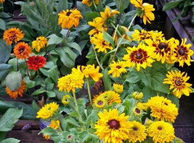 rudbeckia october crop
