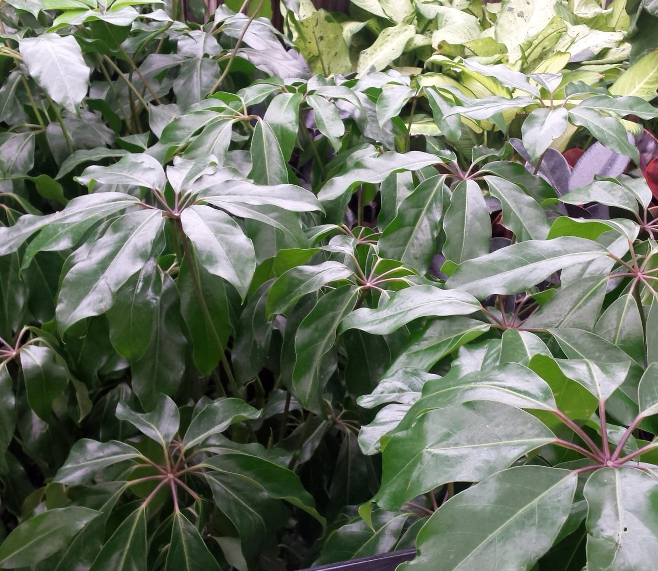 schefflera plants in greenhouse at City Floral