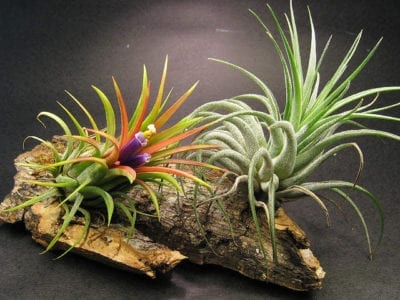 tillandsias-james-ho-flickrccbysa2-0
