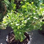 tree sale dwf ginkgo