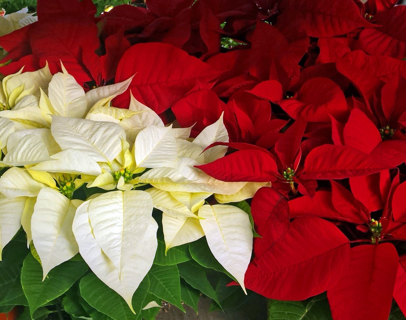 Christmas poinsettias red and white