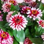 zinnia bicolor