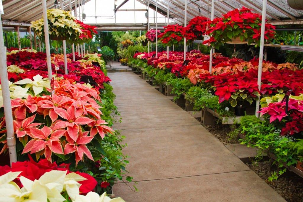 Poinsettia Trade-in Deal at City Floral Garden Center in Denver CO