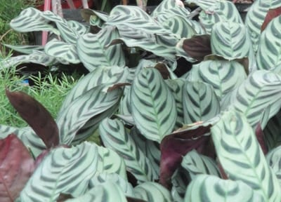 Aglaonema - Chinese Evergreen at City Floral in Denver