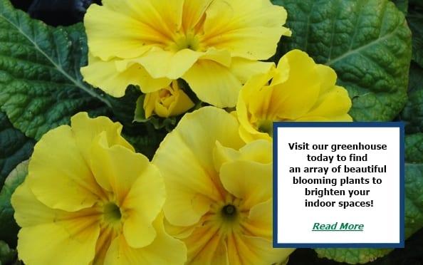 yellow primroses closeup