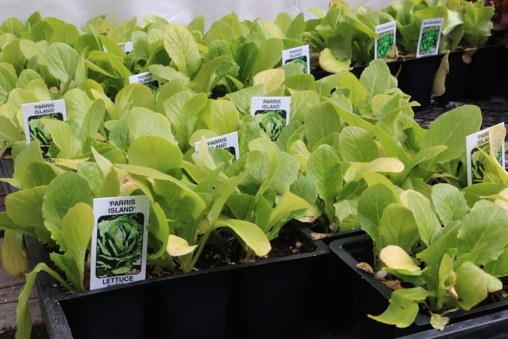 Lettuce closeup 2