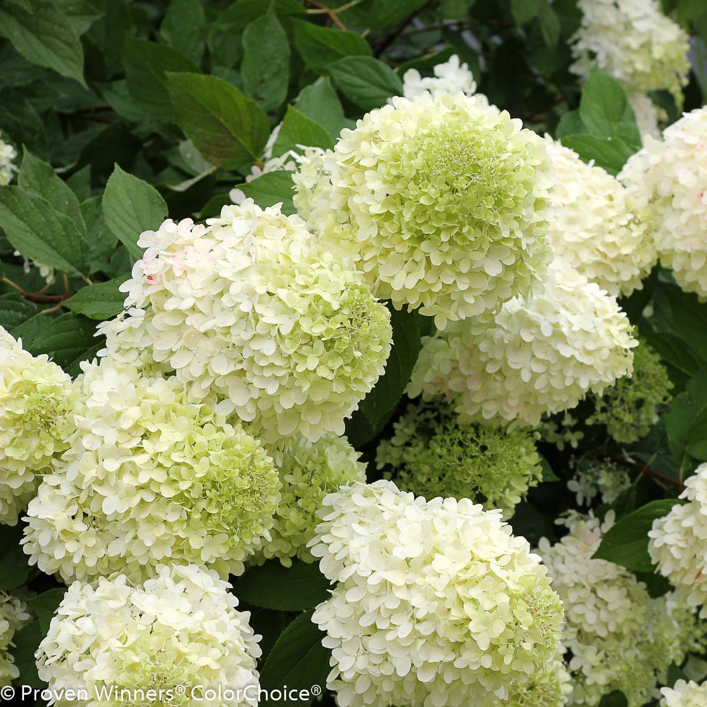hydrangea limelight-6PW