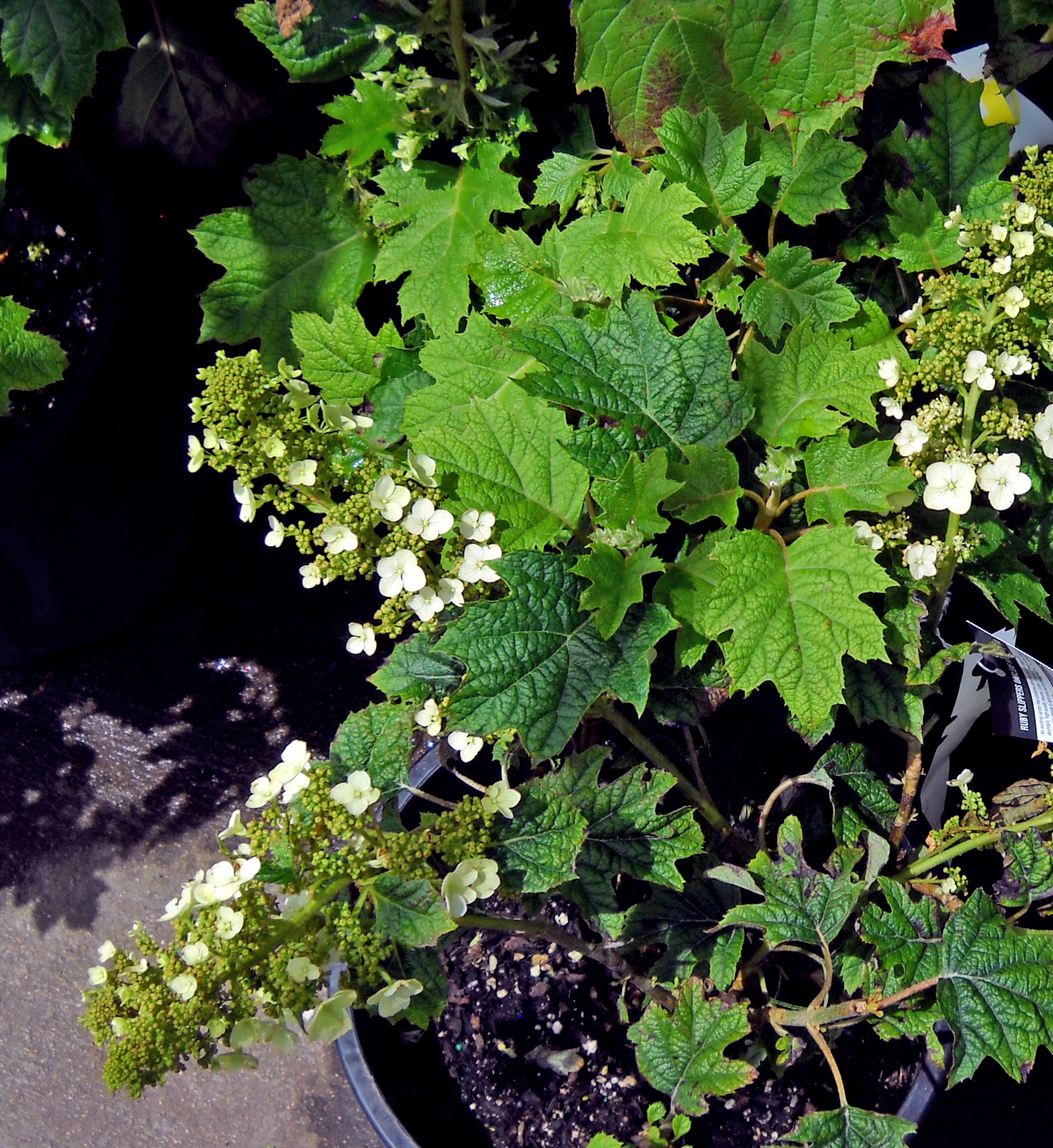 hydrangea panicle white crop