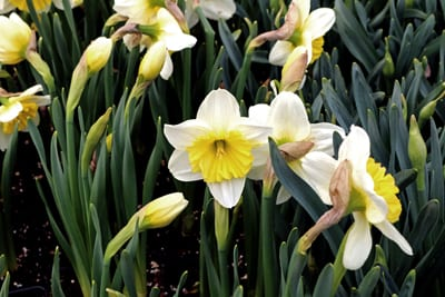 Daffodil 'Ice Follies'