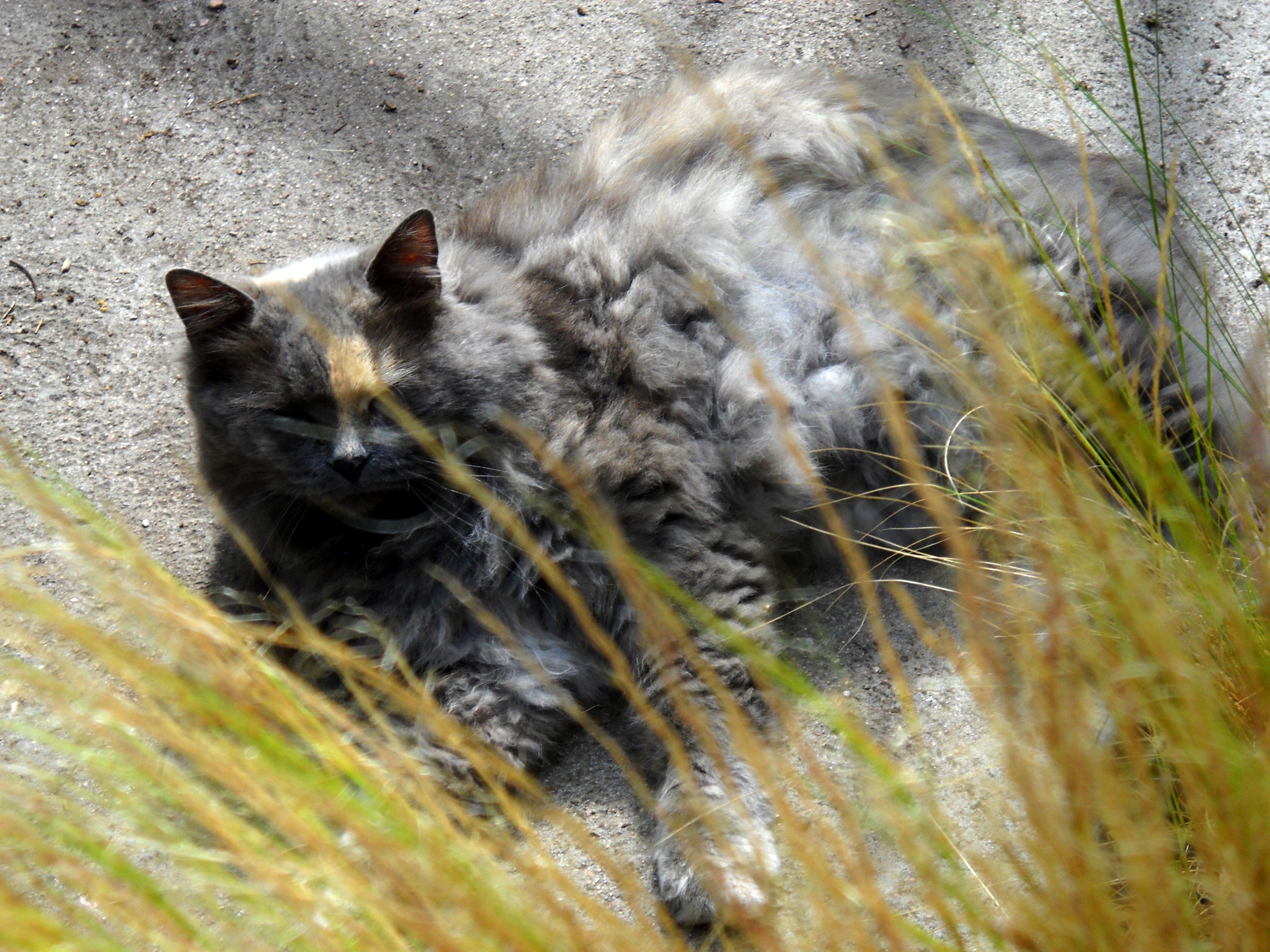 Perennials cat Fluffy
