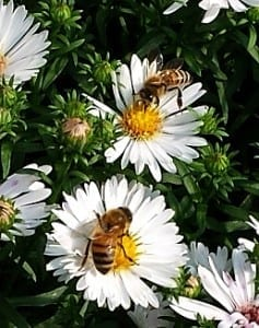 bees on aster