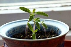 tomato seedling Ramsay Thomson FlickrCC2.0 sm