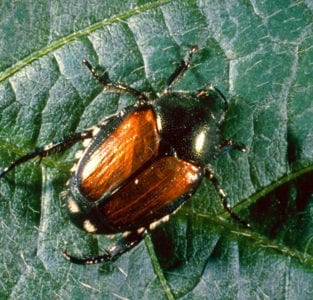 Japanese Beetles - Control and Prevention @ City Floral Greenhouse | Denver | Colorado | United States