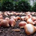 tulips-planting-peter-burka-flickrccbysa2-0-crop-sm