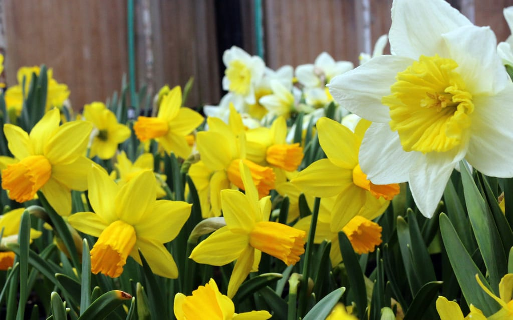cityfloral daffodils