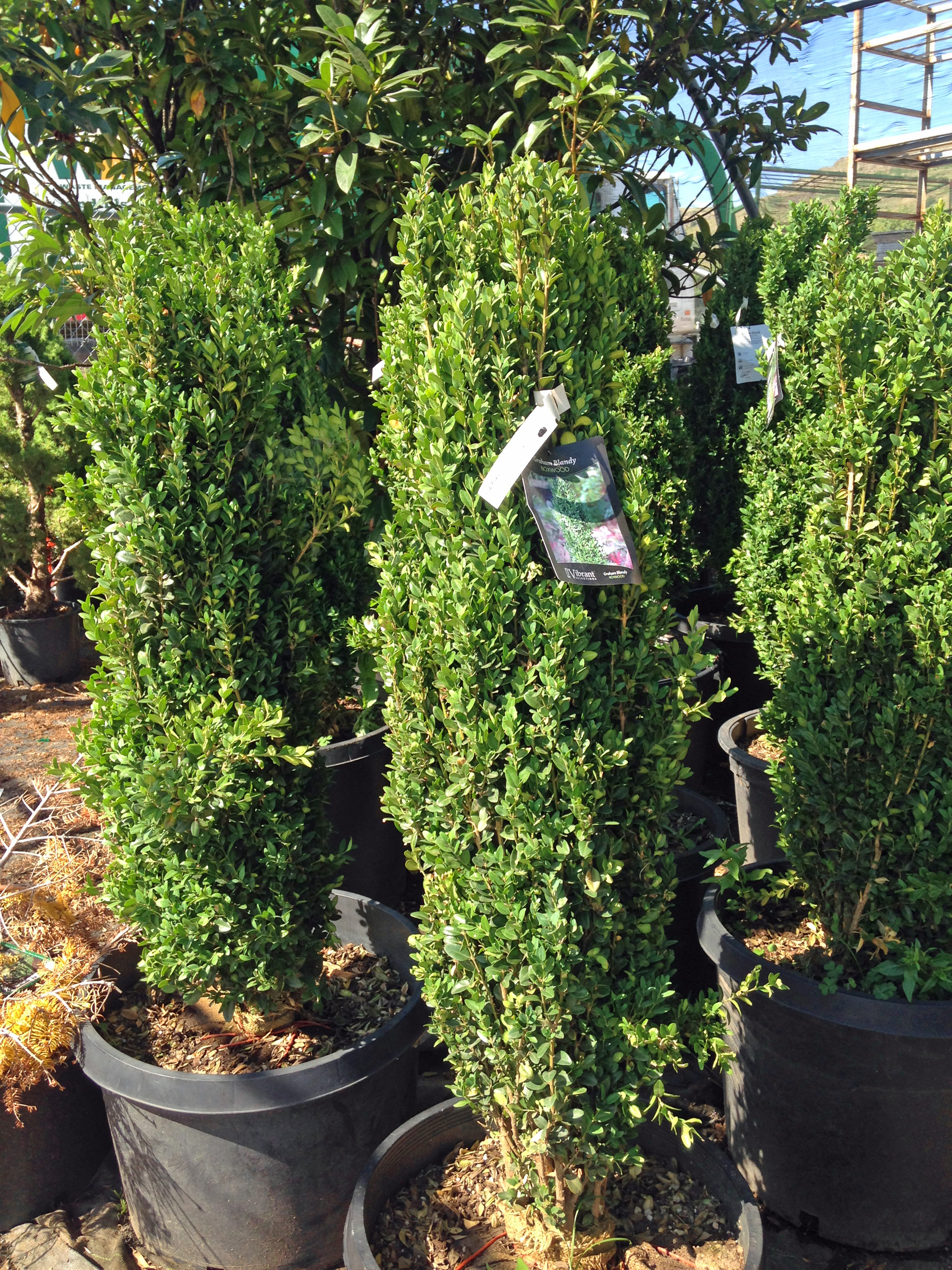 30-36in Graham Blandy Boxwood