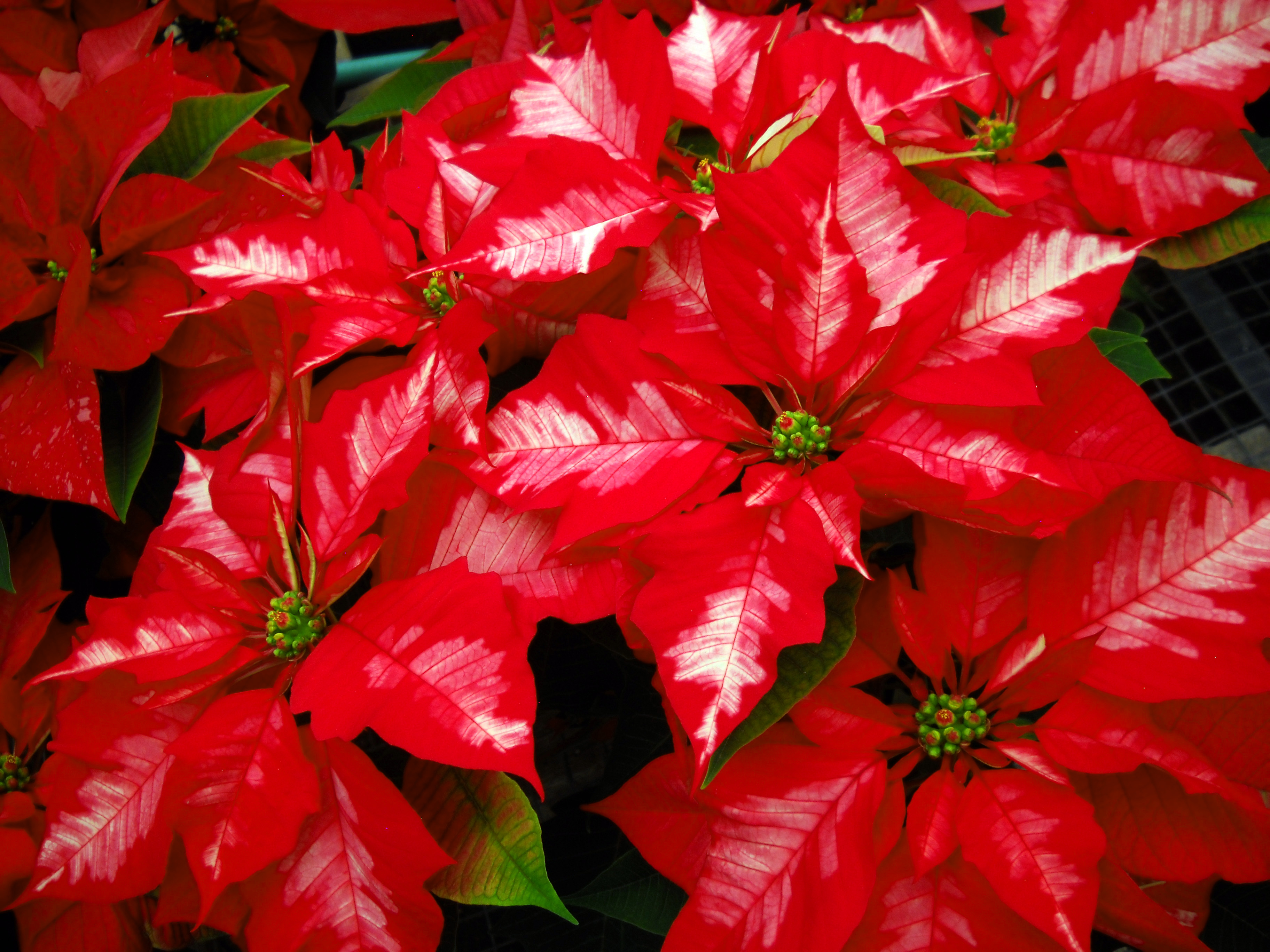 Christmas poinsettia red and white variegated at City Floral Greenhouse