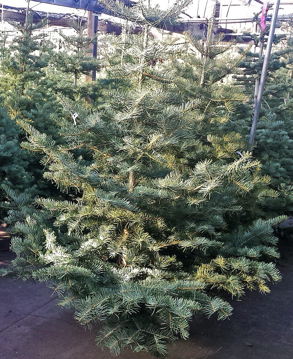 Christmas tree Concolor fir City Floral Signature Tree