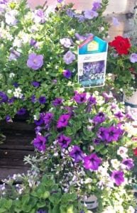 HGTV Expressions Annuals Friendly Fusion Purple