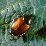 Japanese beetle USDA ARS Bugwood.org crop