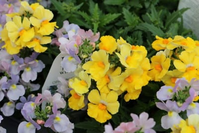 Nemesia closeup lavender and yellow