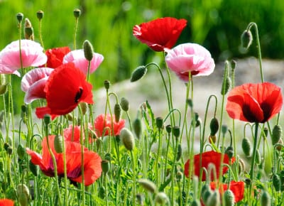 Poppies-Richard-Gillin-FlickrCC2.0