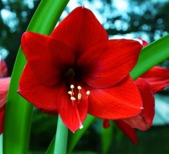 amaryllis red lion A Yee-FlickrCC2.0 sm