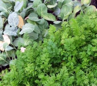 carrots kale