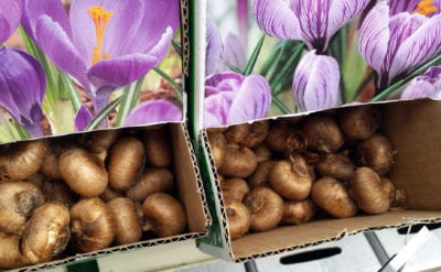 crocus-in-boxes
