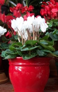 cyclamen-red-pot